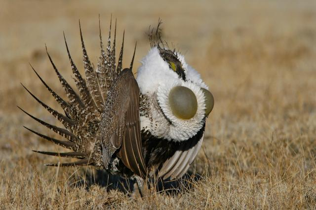 Male Greater Sage Grouse.  Photo: Audubon.org