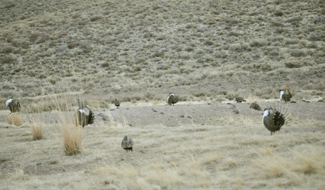"Greater Sage Grouse ""lek"" (courtship ritual).  Photo: Wikimedia Commons"
