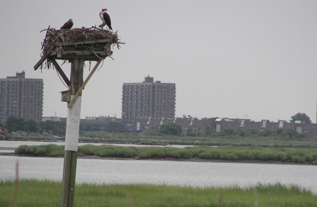 Ospreys, Jamaica Bay National Wildlife Refuge.  Photo: NPS