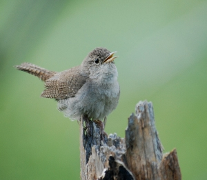 House Wren courtesy of NPS