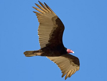 A turkey vulture in flight. Photo: allaboutbirds.com