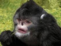 sneezing-monkey-300x225