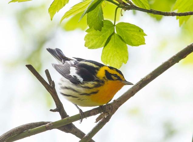 Blackburnian Warbler: photo by John Jackson (www.flickr.com/photos/bkroadphoto)