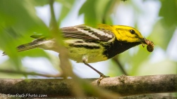 Black-throated Green Warbler: photo by Kevin Vance (www.flickr.com/photos/towpathphoto/)