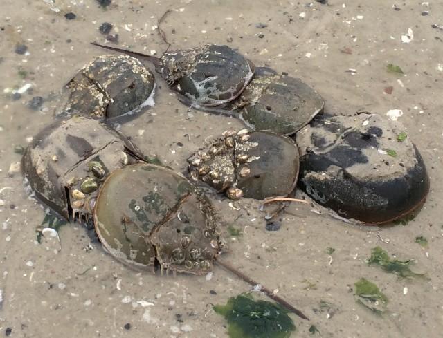 horny crabs