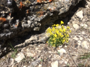 Yellowstone Draba