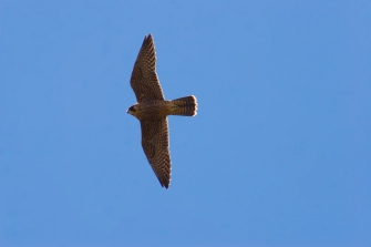 A juvenile peregrine falcon (photo by Nate Bowersock).