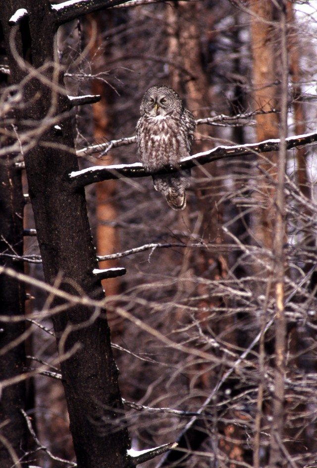 Great Gray Owl perched on burned tree branch;Jim Peaco; April 15, 1993