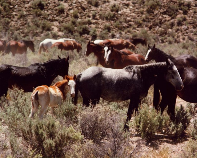 herd_of_wild_horses_at_the_the_nevada_test_site_2