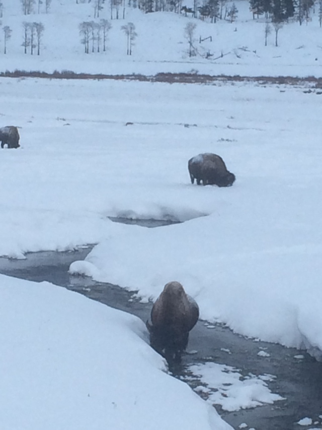 Bison at Soda Butte