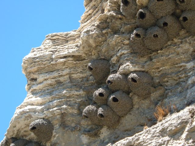 cliff swallow colony..