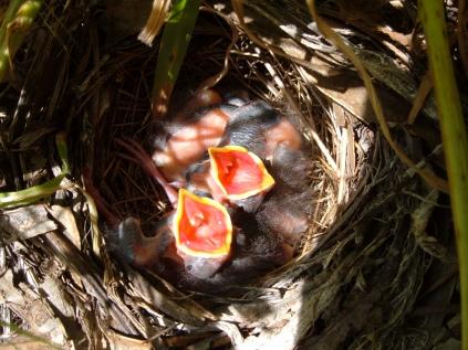 Spotted Towhee nestlings