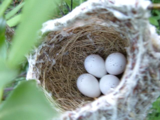 warbling vireo nest