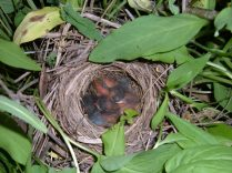 White-crowned Sparrow nestlings
