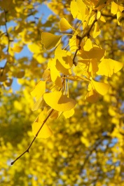 gingkoleaves